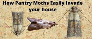 How Pantry Moths Easily get in your house