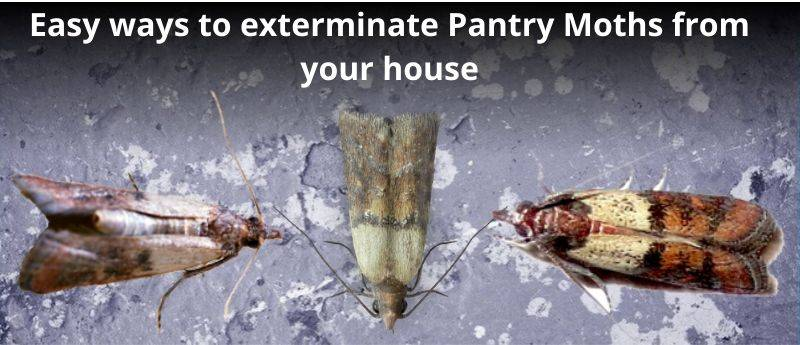 Easy ways to get rid of Pantry Moths from your house