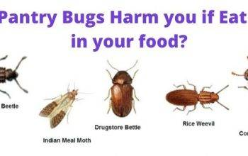 Are Pantry Bugs Harmful if Eaten? How to get rid of them