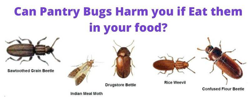 Are Pantry Bugs Harmful if Eaten. Also learn how to get rid of them