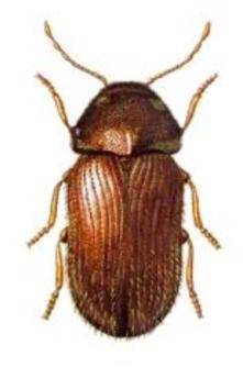 The drugstore beetle