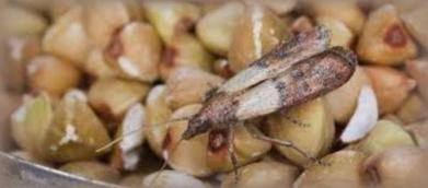 Indian meal moth on cereals and nuts